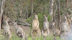 Great Ocean Road. This wild mob of Eastern Grey Kangaroos came hopping out of the Bush towards us, and stopped suddenly when they saw us.