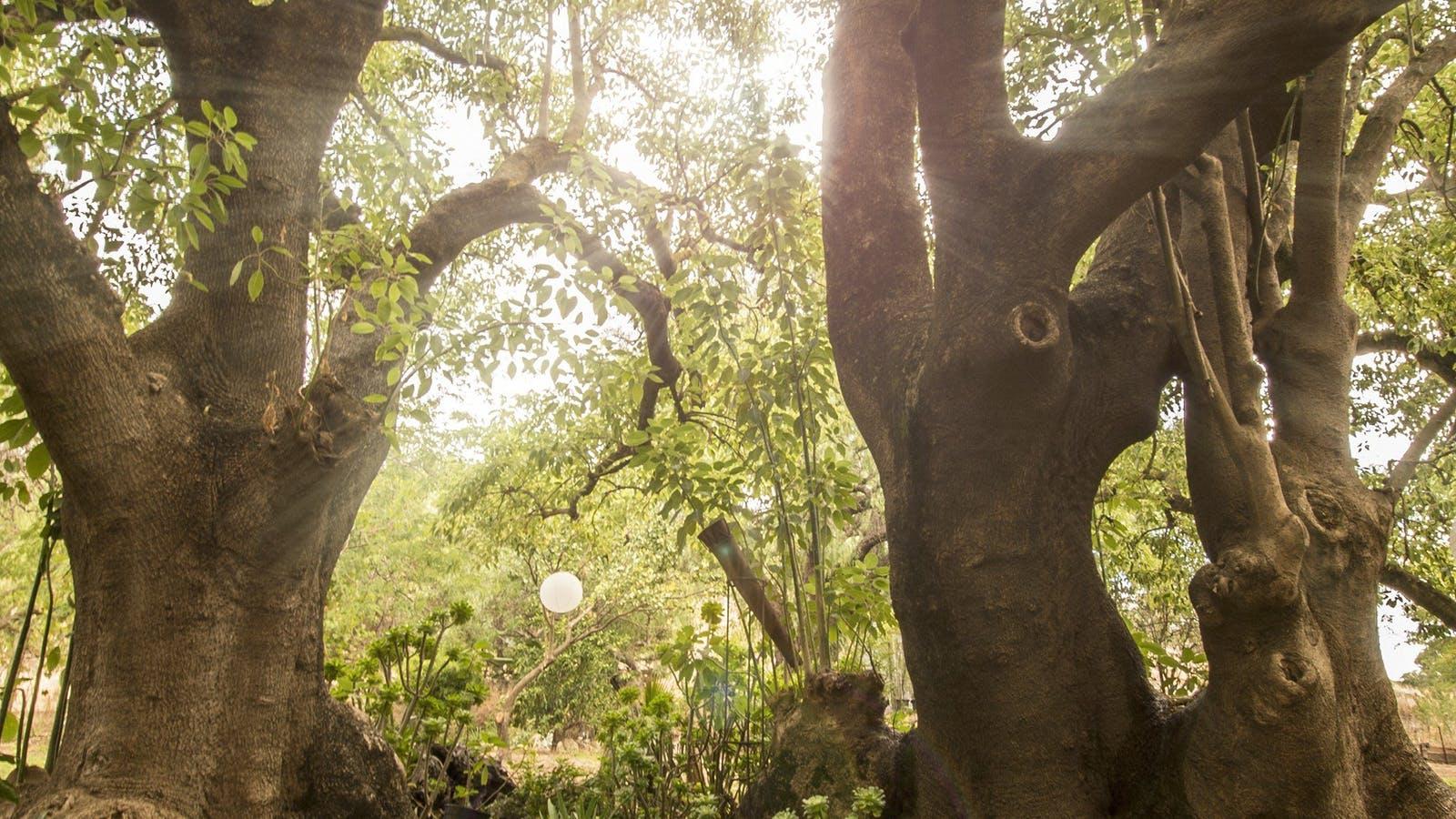 Heritage listed Ombu Trees