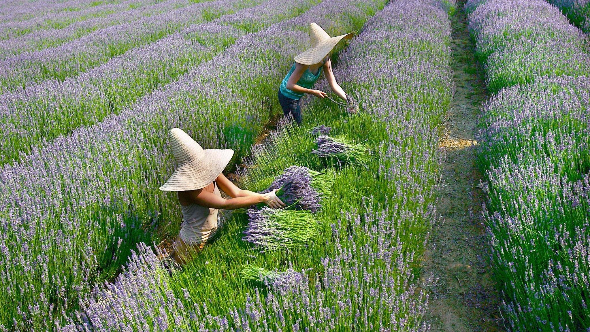 Lavender Harvest Festival