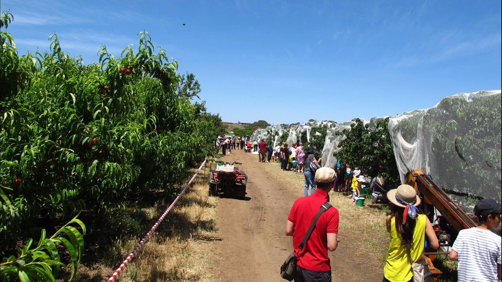 Paynes Orchards cherry picking