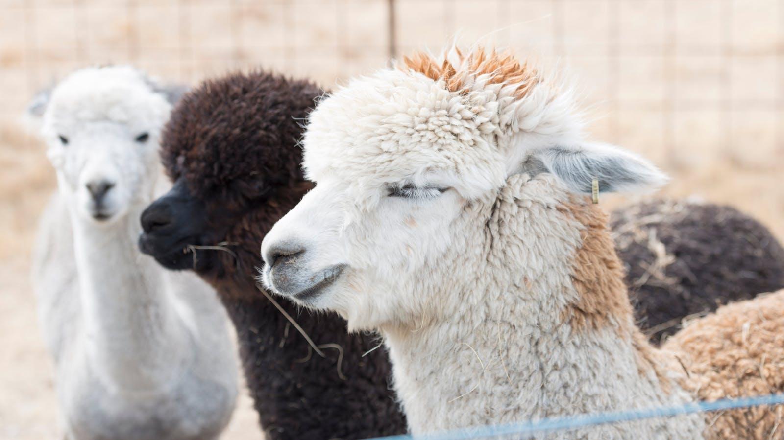 Resident alpacas - Creswick Woollen Mills