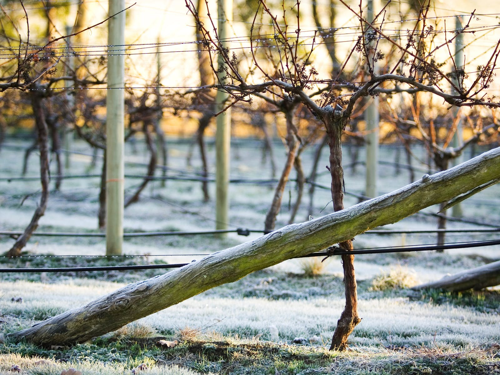 Frost on the vines