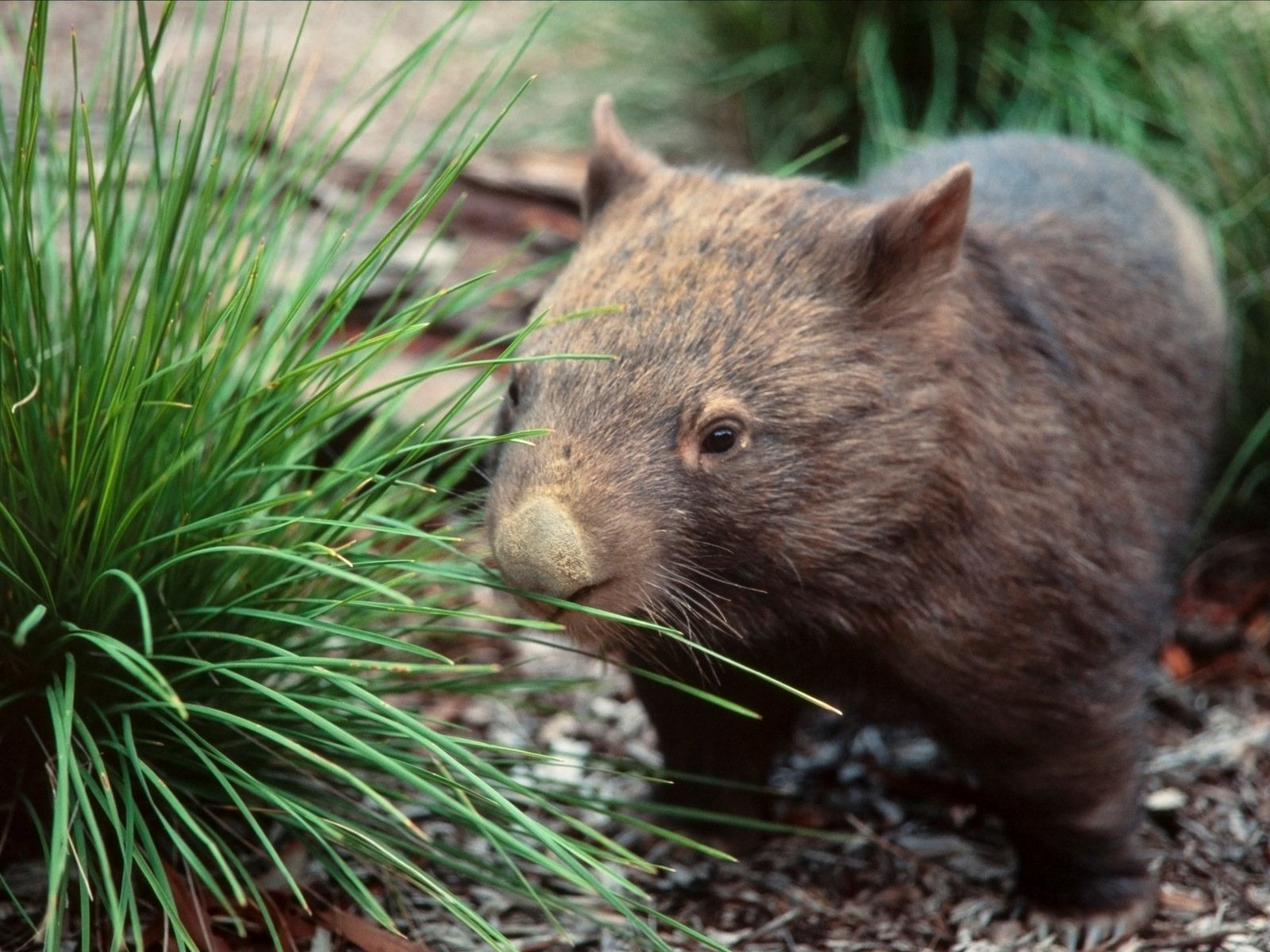 Common Nosed Wombat