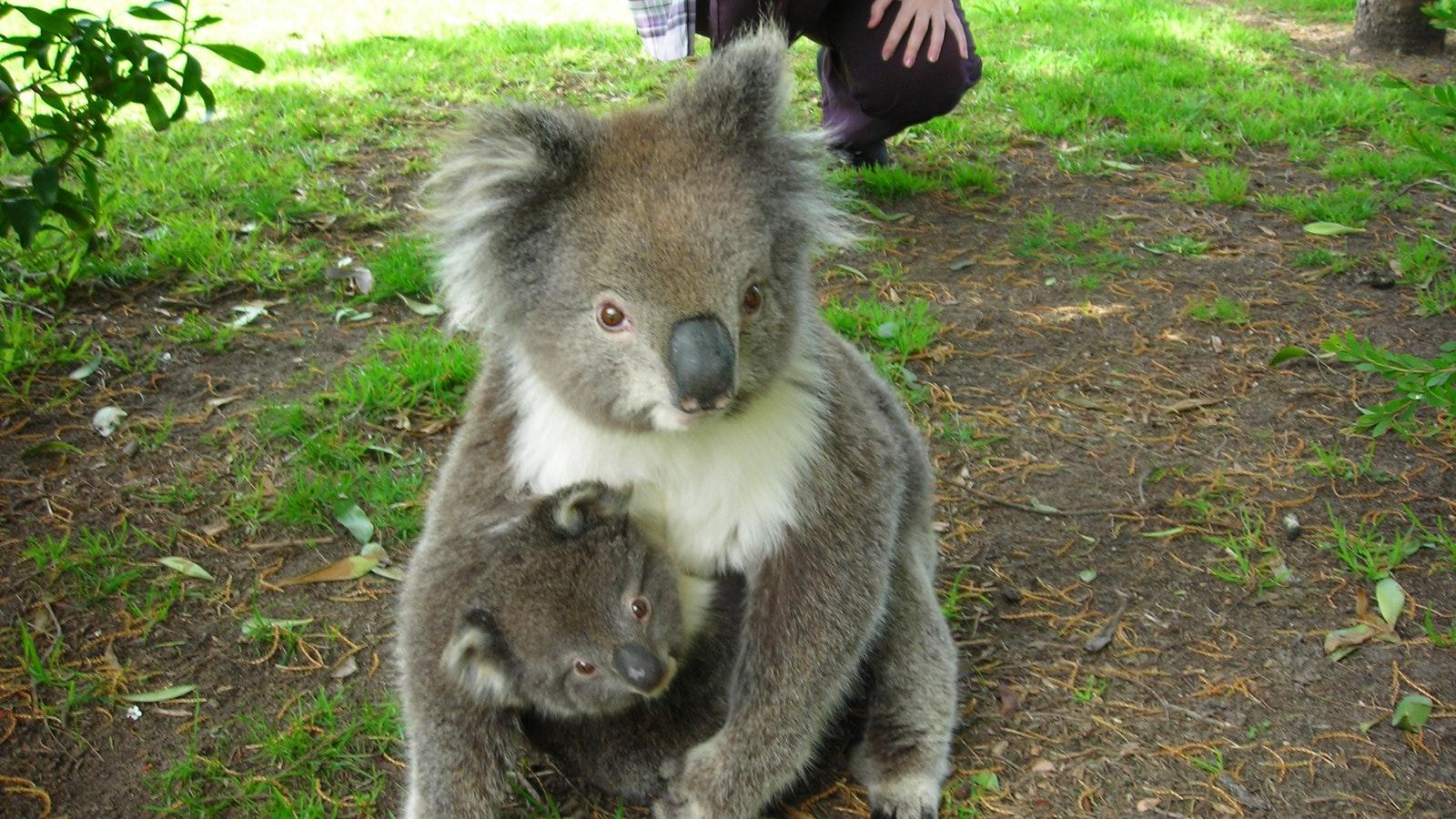 Koala and joey, Kennett River