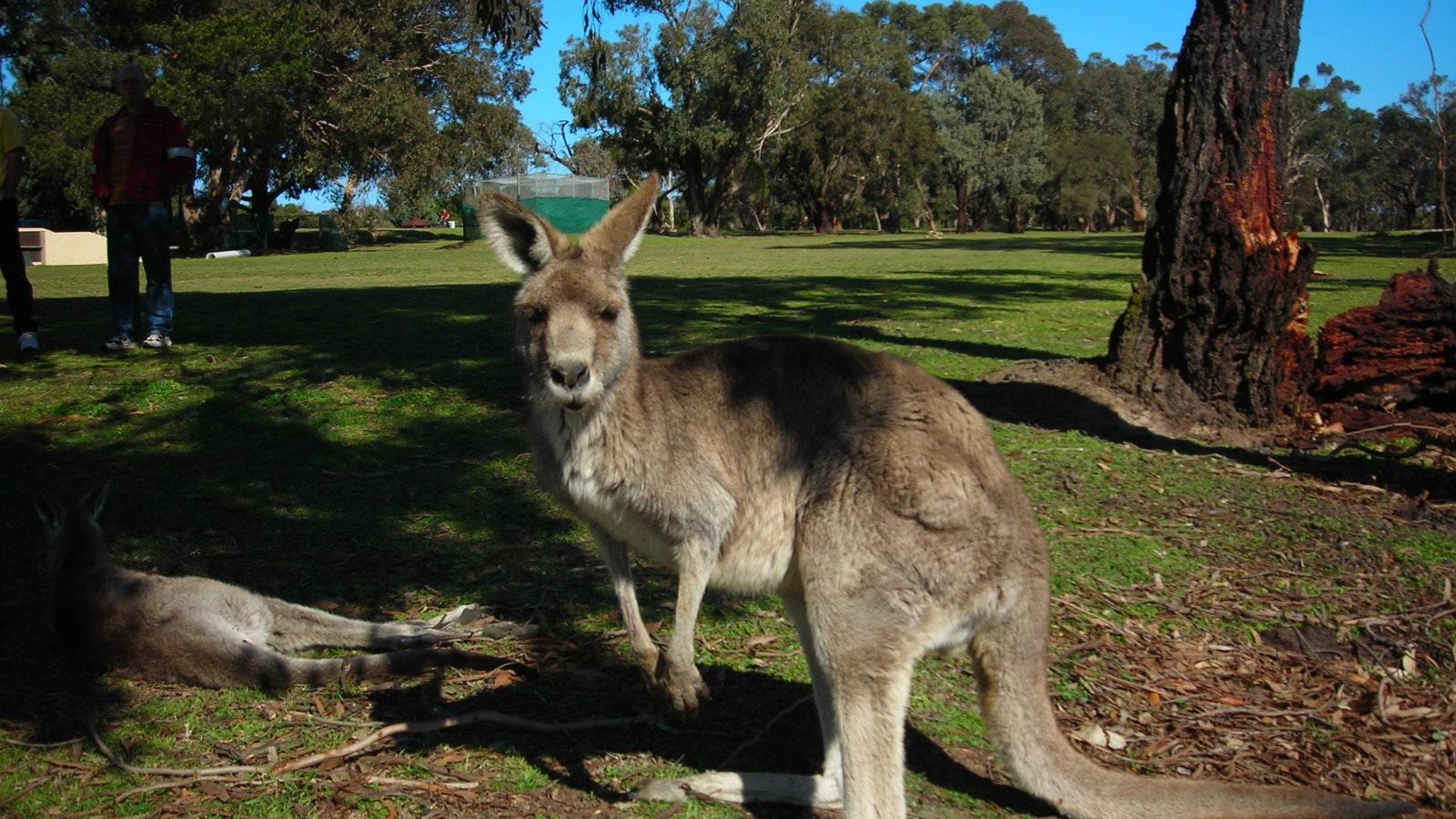 Kangaroo at Anglesea Golf Course