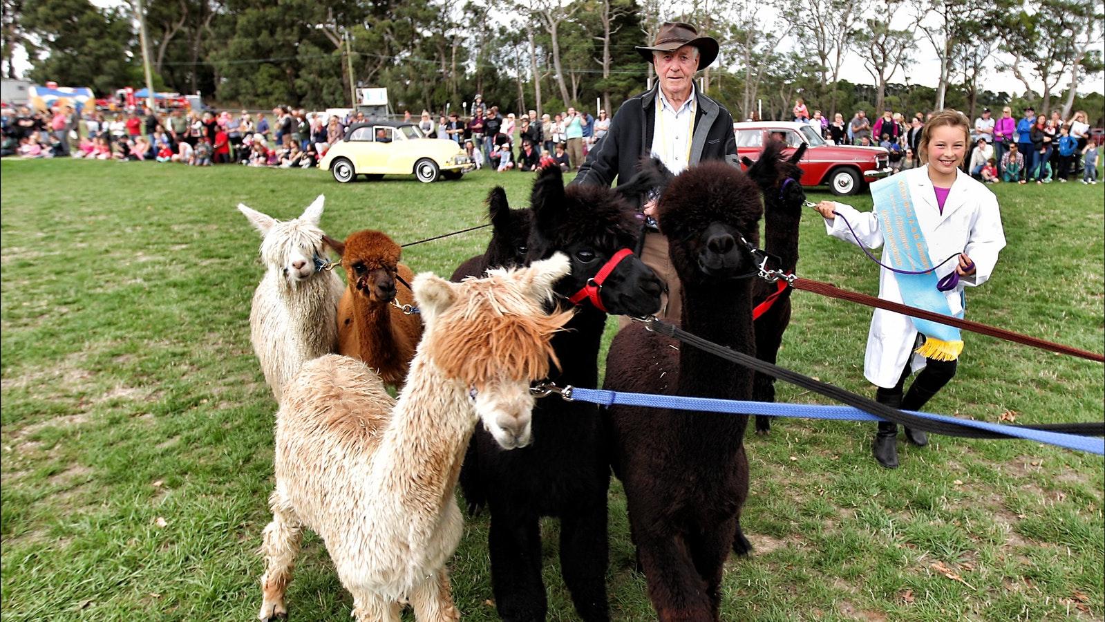 Alpacas steal the show