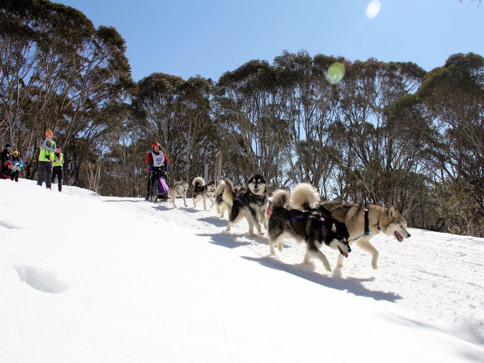 Sled dog racing on snow in Australia