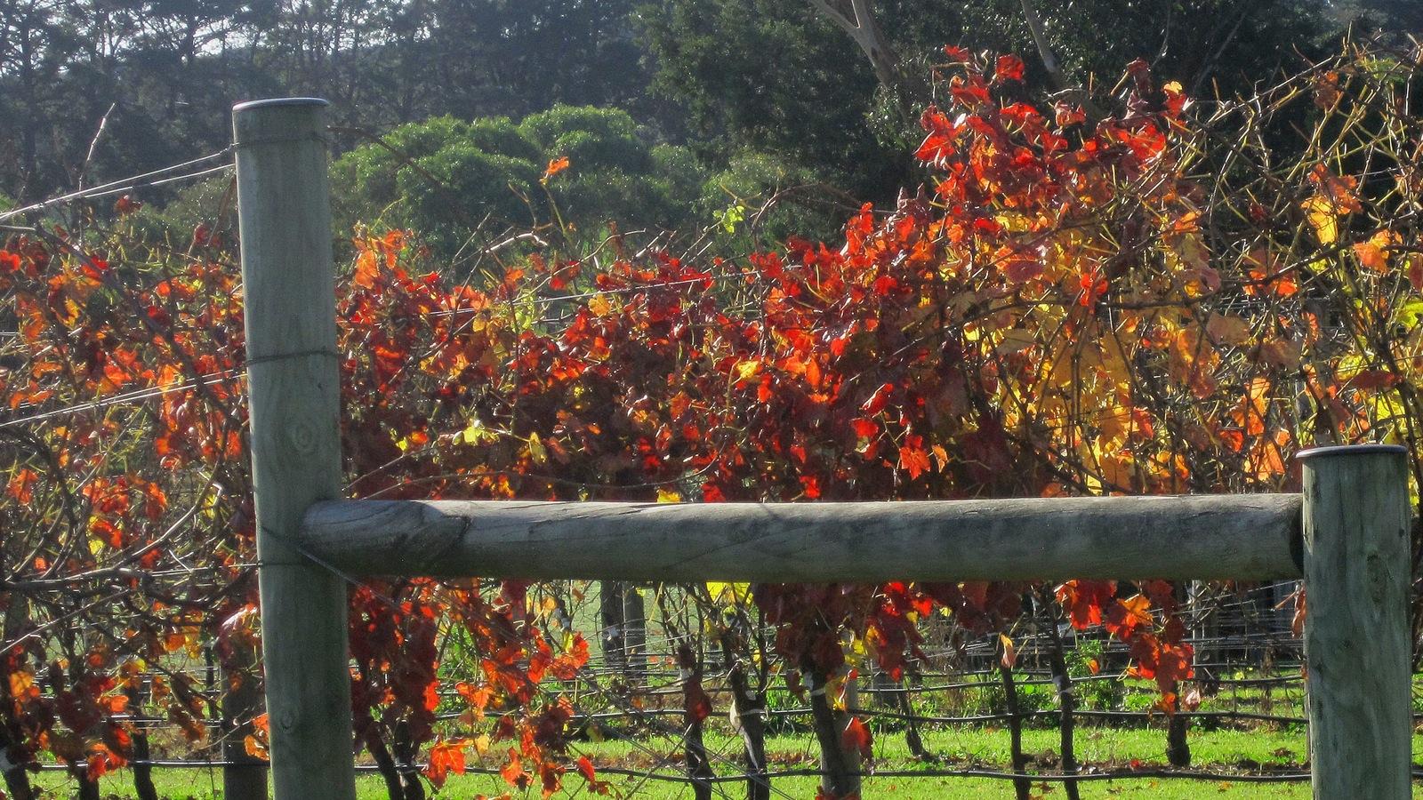 Autumn Vines in Marcus Hill