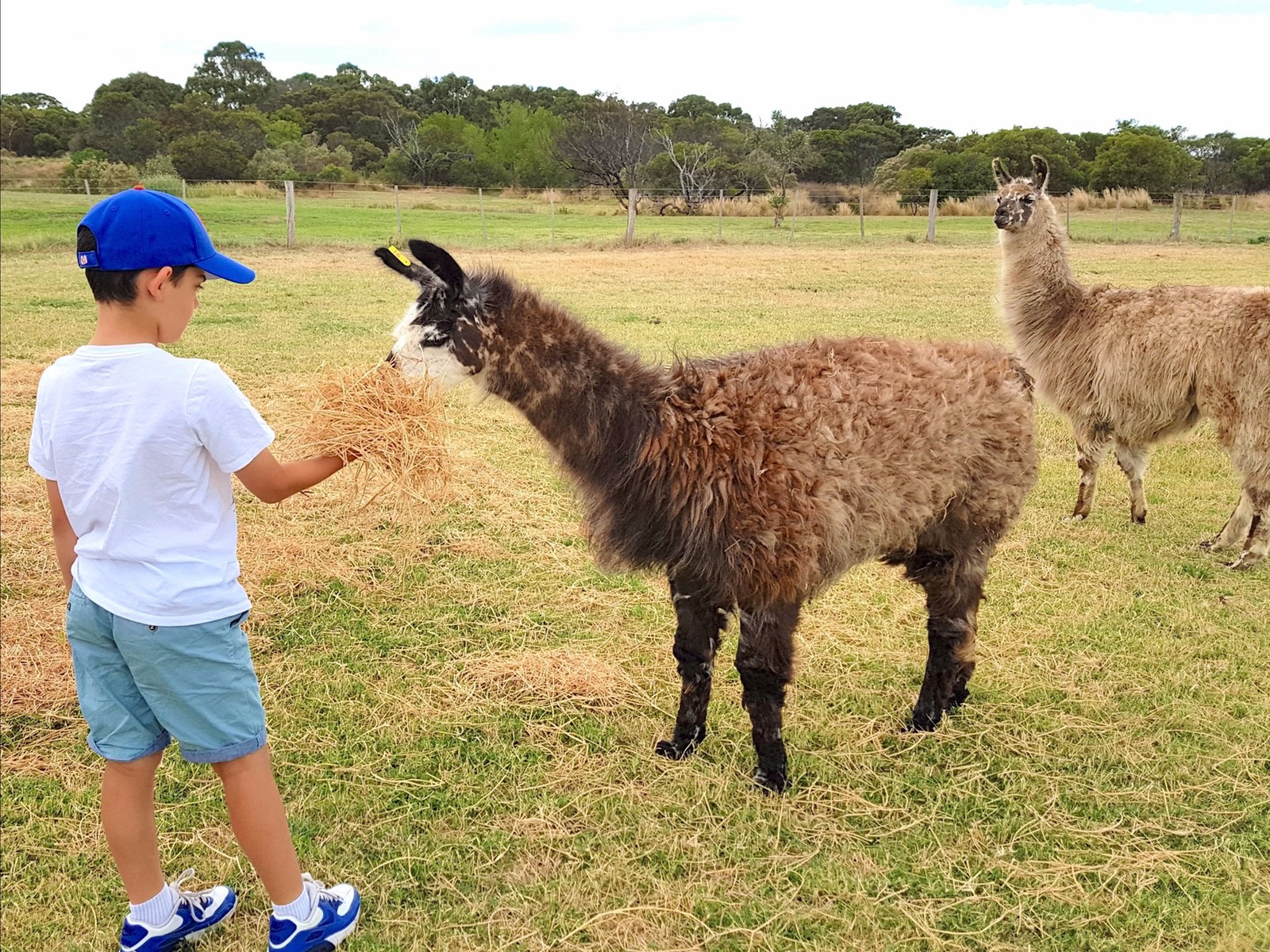 Basils Farm - Feeding the Llamas