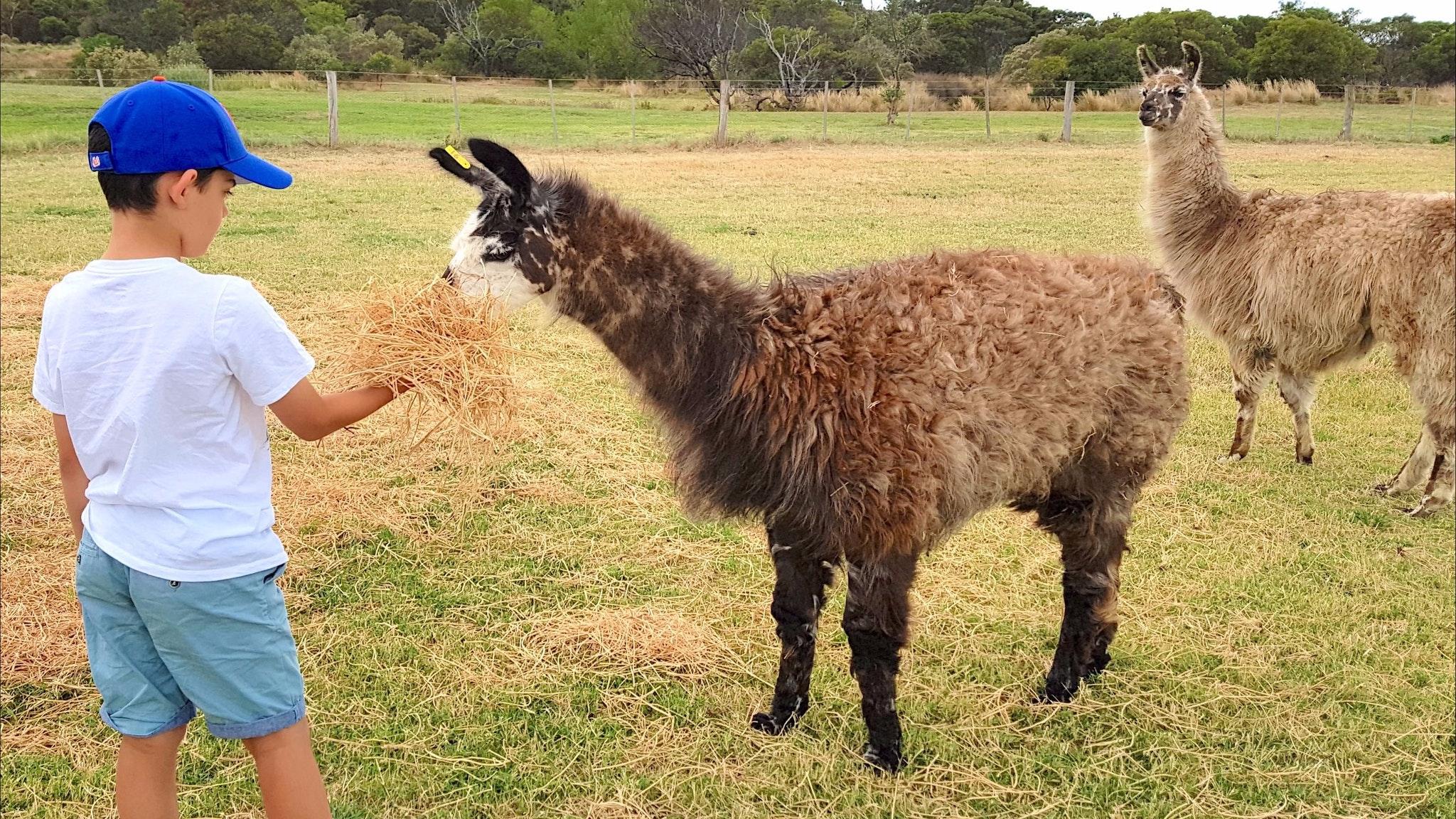 Basils Farm - Feeding the Llamas