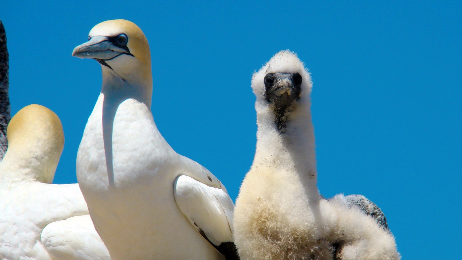 Australasian Gannet and Chick