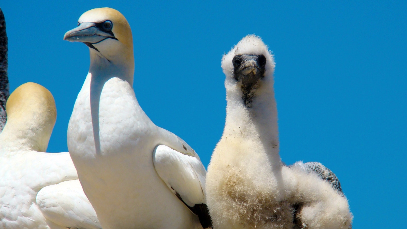 Australasian Gannet with Chick