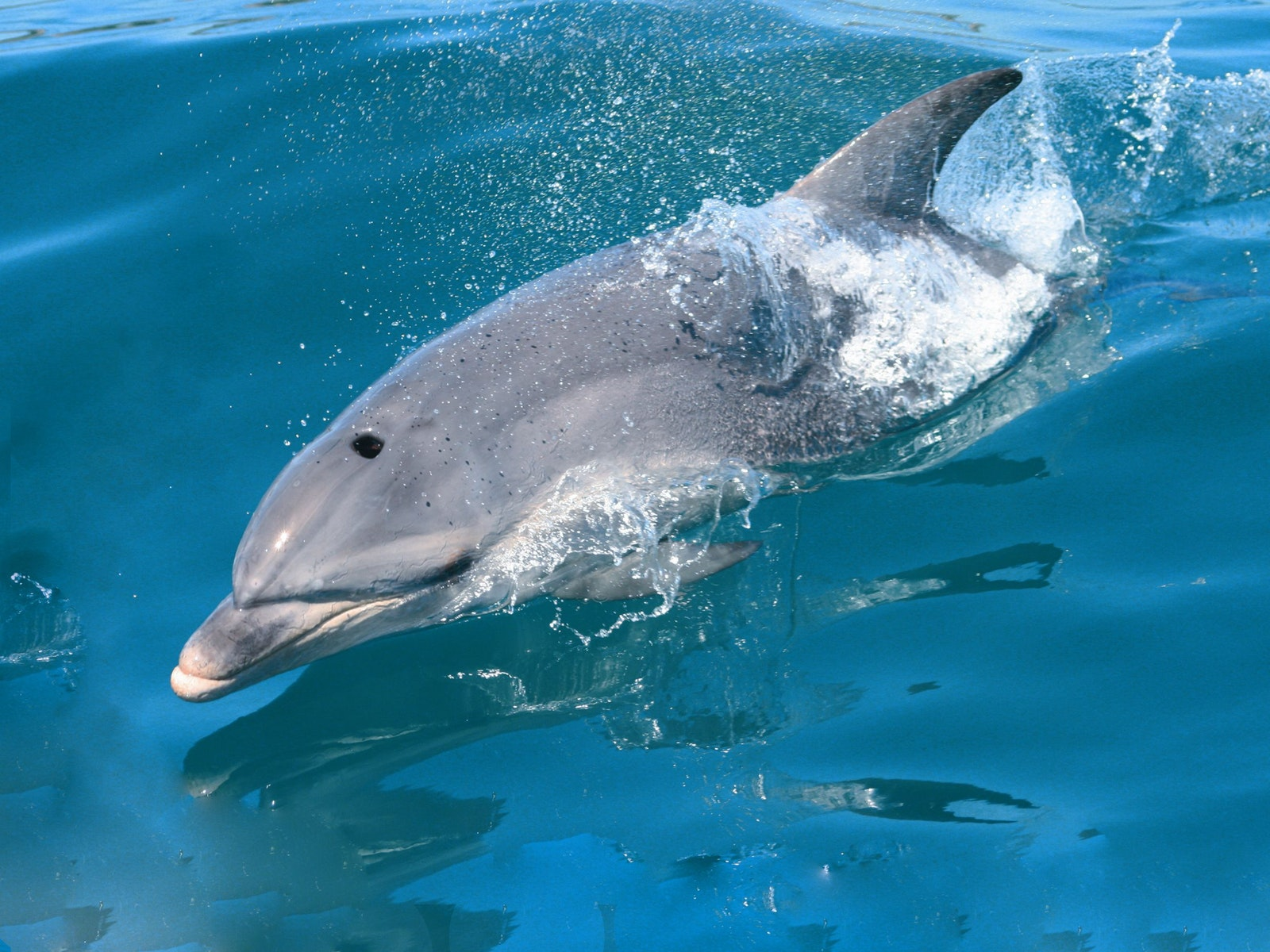 Sea All Dolphin