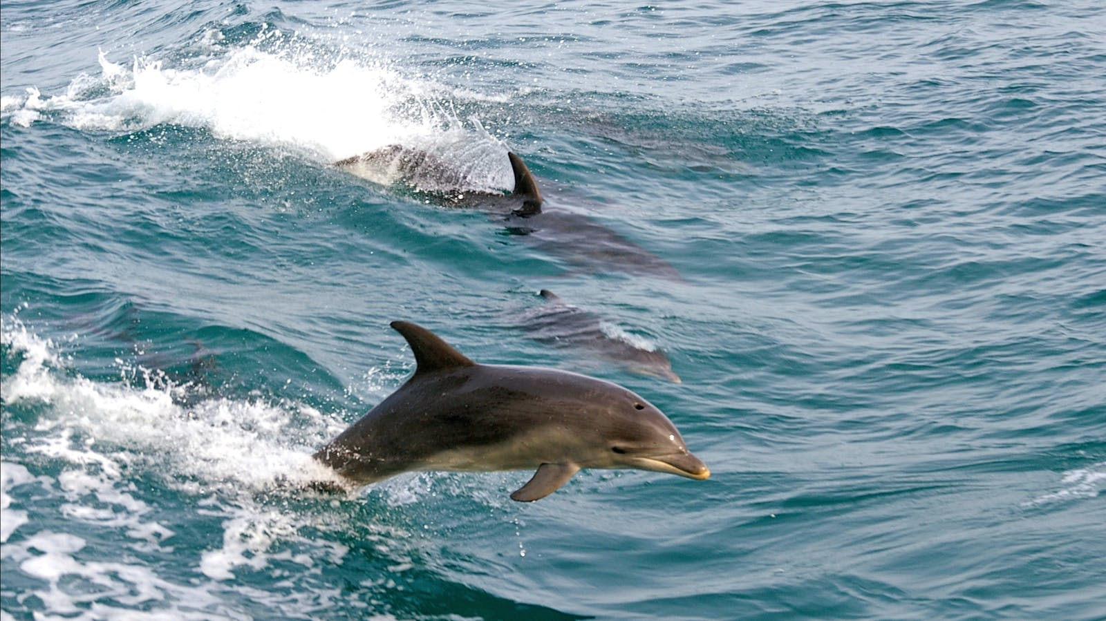 Dolphins frollicking beside the Searoad Ferries