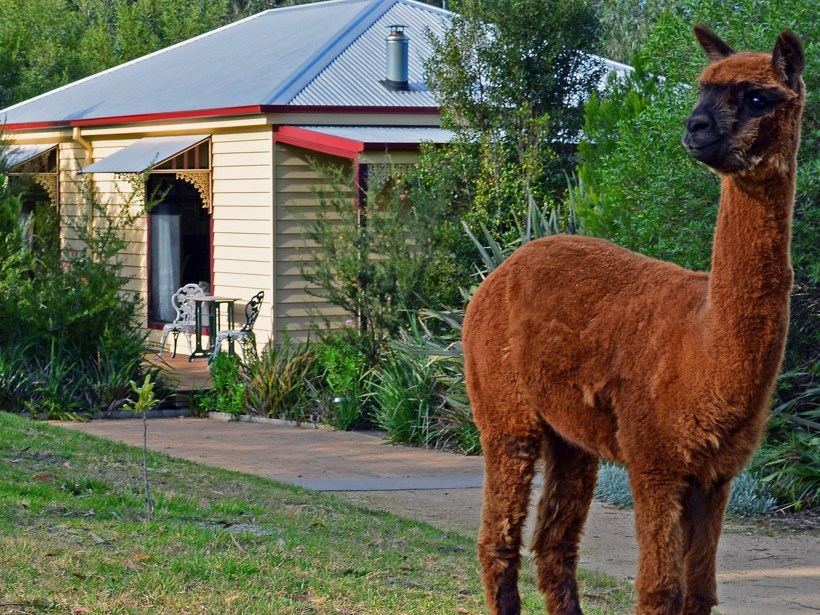 Alpaca 'Victa' in front of Lilly Pilly Cottage
