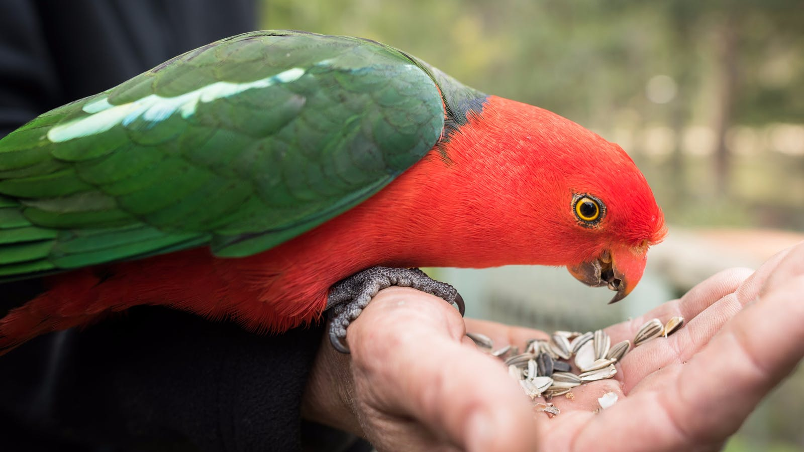 Local King Parrots eating from guests hands