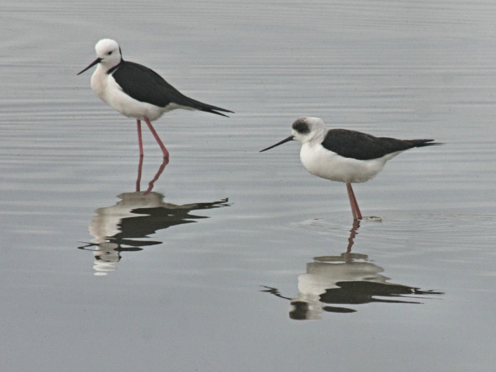 Black-winged Stilts (from the 2010 competition)