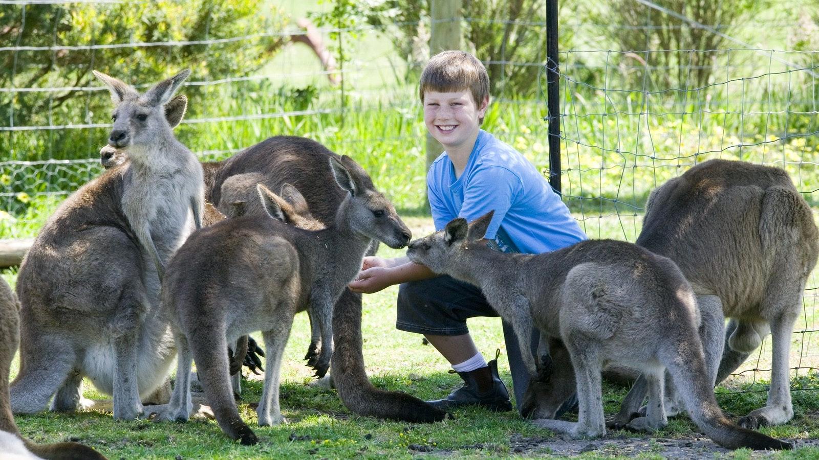 feed kangaroos