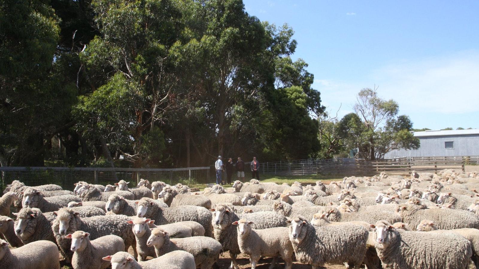 Lamb production