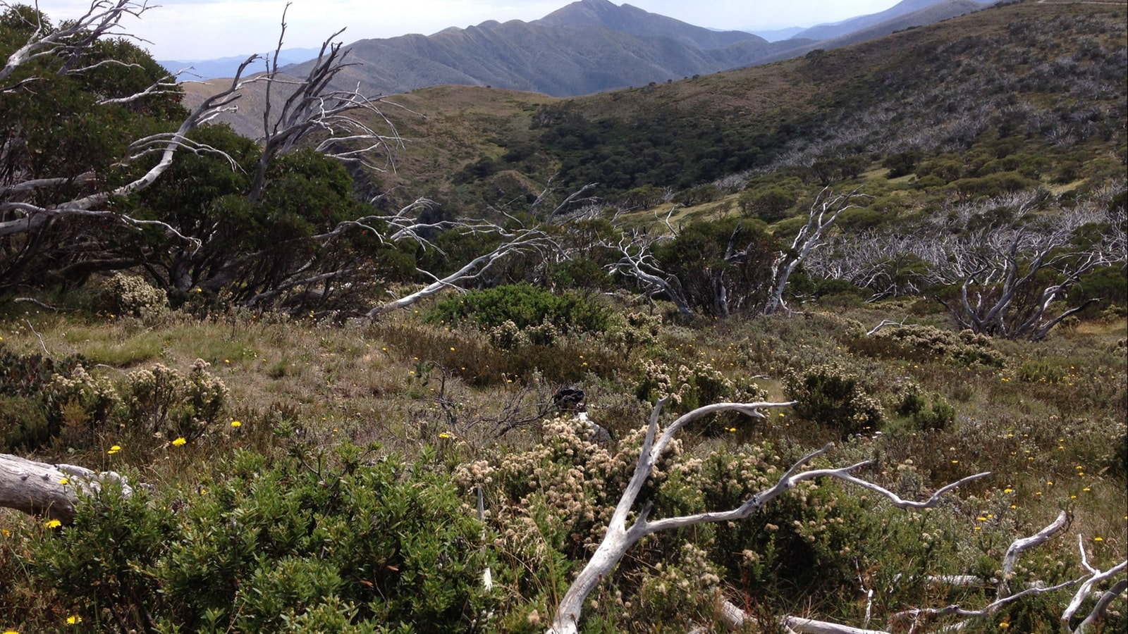Mt Feathertop with Alpine Wildflowers
