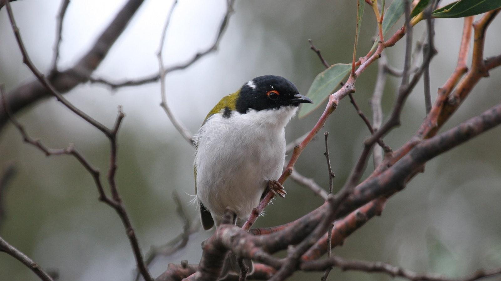 White-naped Honeyeater, a lovely bush bird
