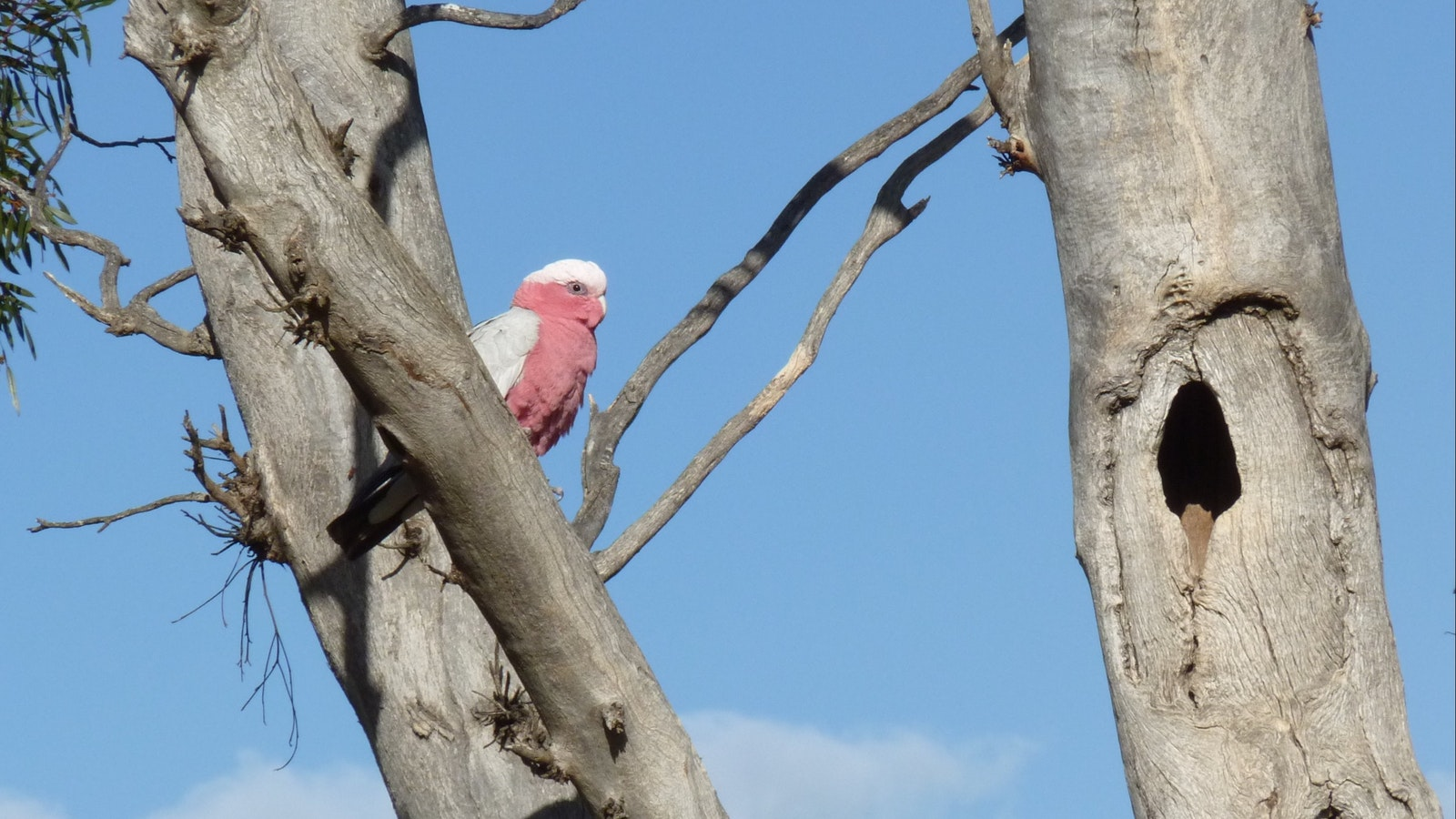 Watching a Galah assess a tree hollow that might make a suitalbe nest site