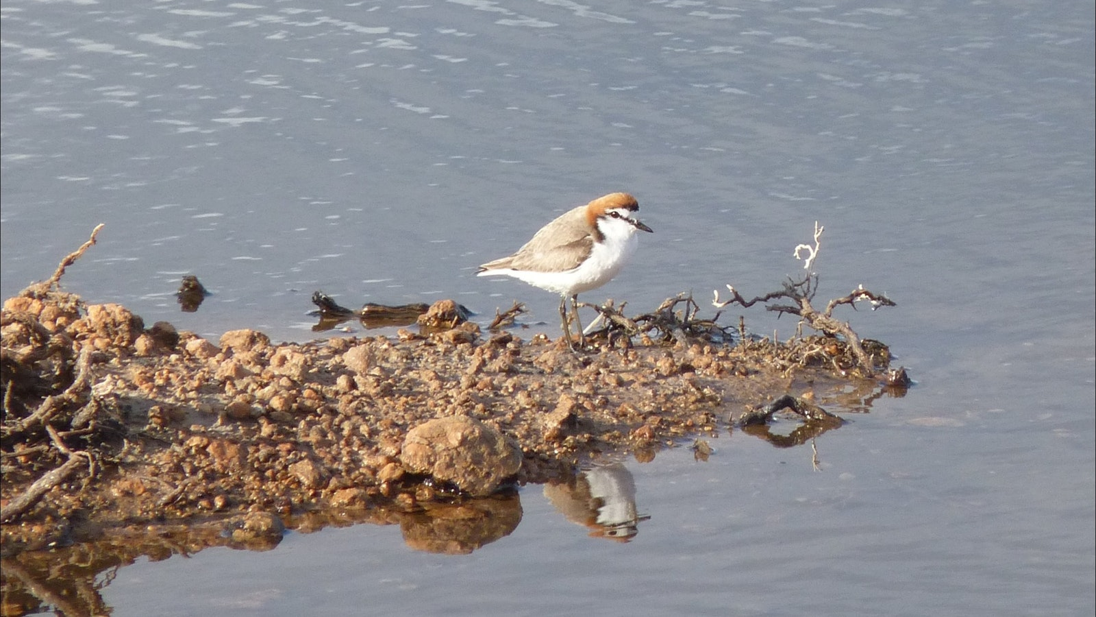 A red-capped Plover on the edge of a wetland near Hattah Kulyne NP