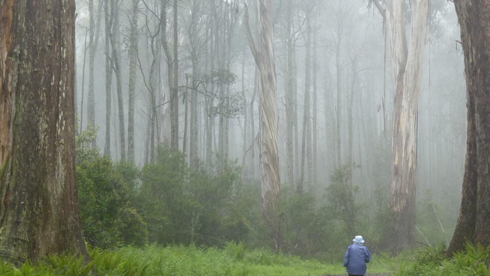 Errinundra misty walk