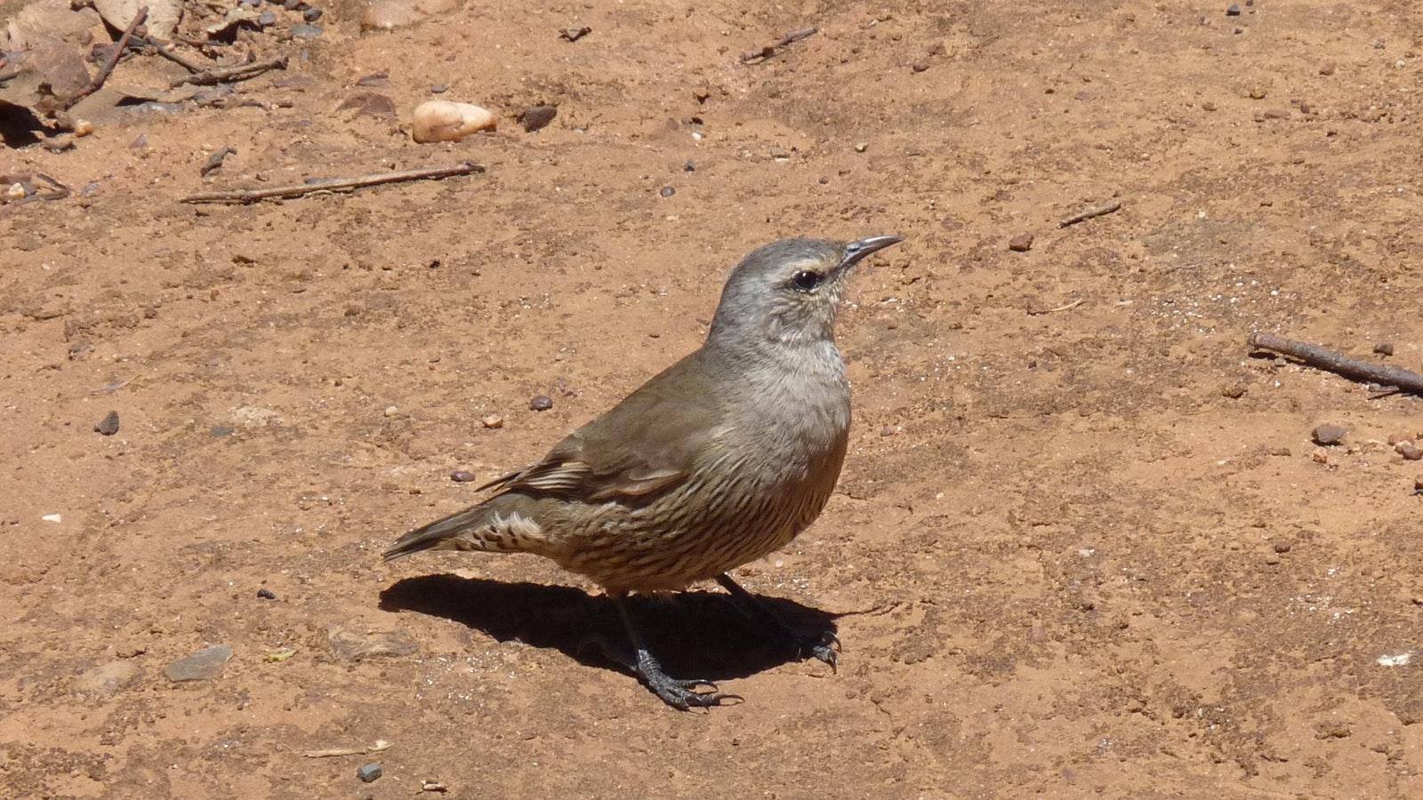 Brown Treecreeper, another woodland bird