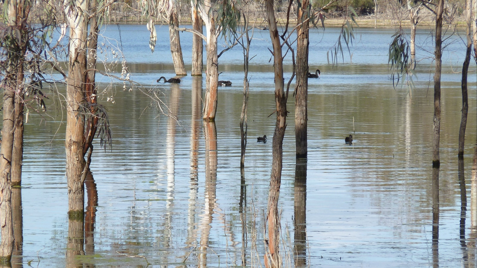 Water birds on the Hattah Lakes add to the mallee birds seen on this tour