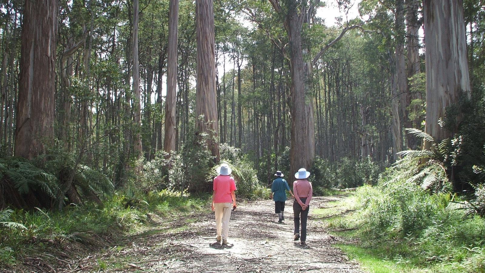 Walking Errinundra National Park
