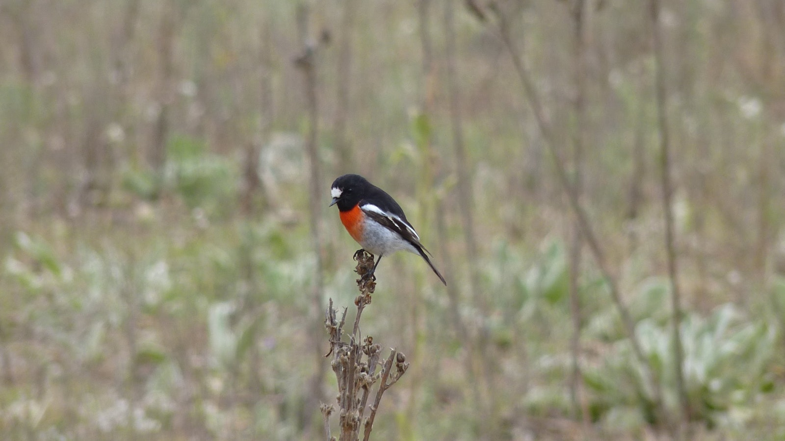 Scarlet Robin, one of the delightful woodland birds of the Snowy River Valley