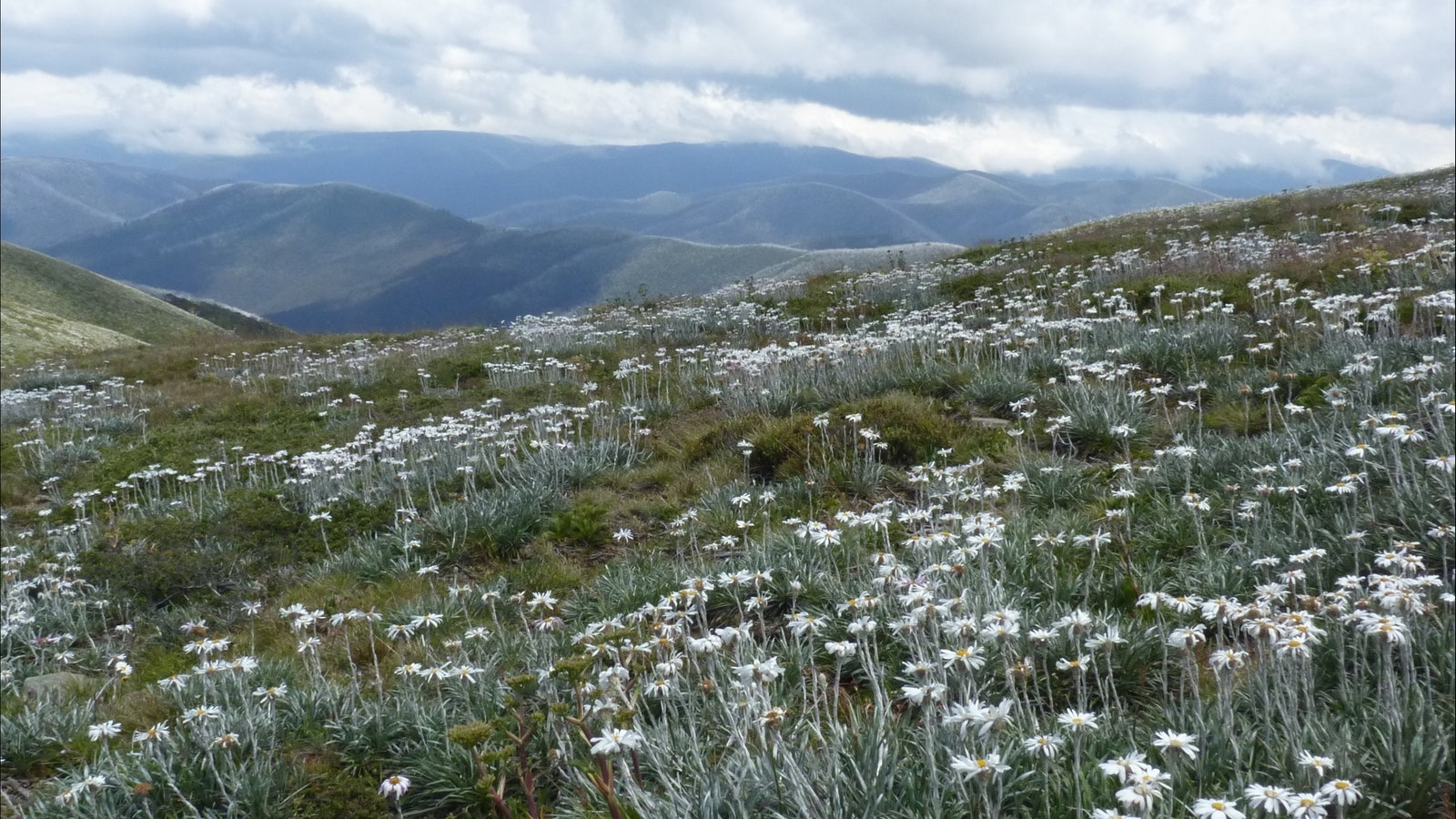Summer is wildflower time in Victoria's alps