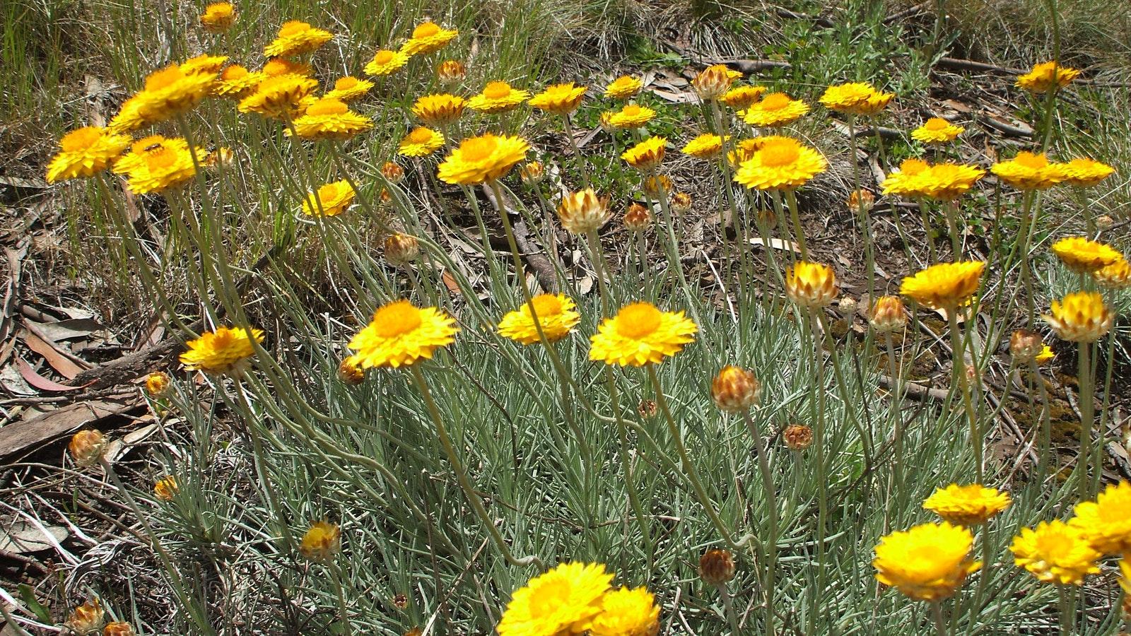 Spring wildflowers, golden everlasting daisy