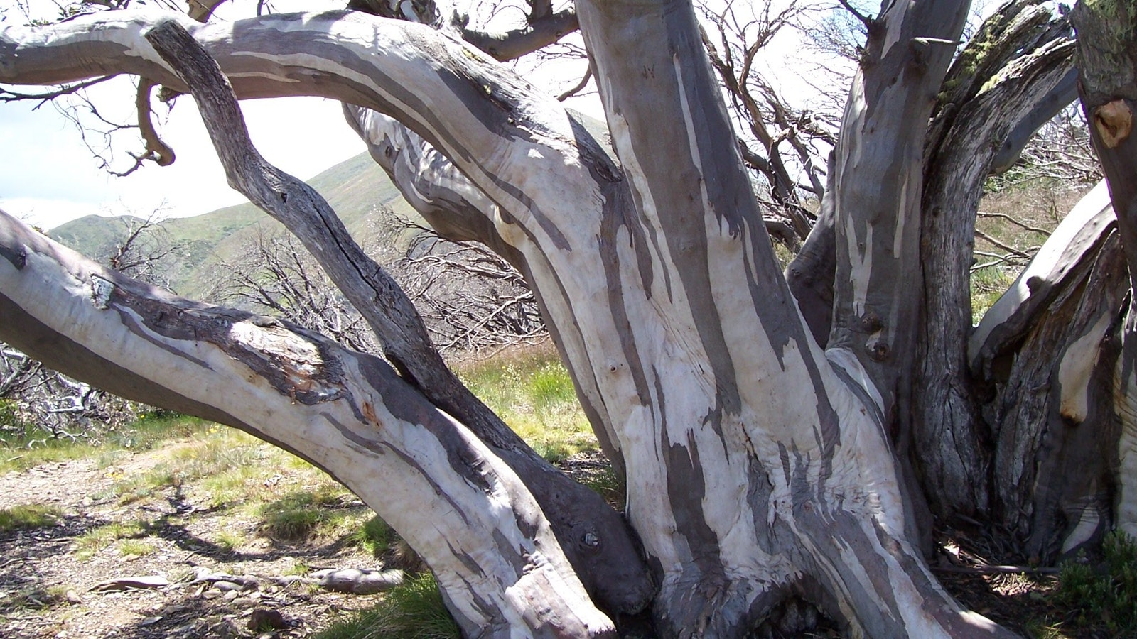 Snowgum - Gippsland High Country Tours