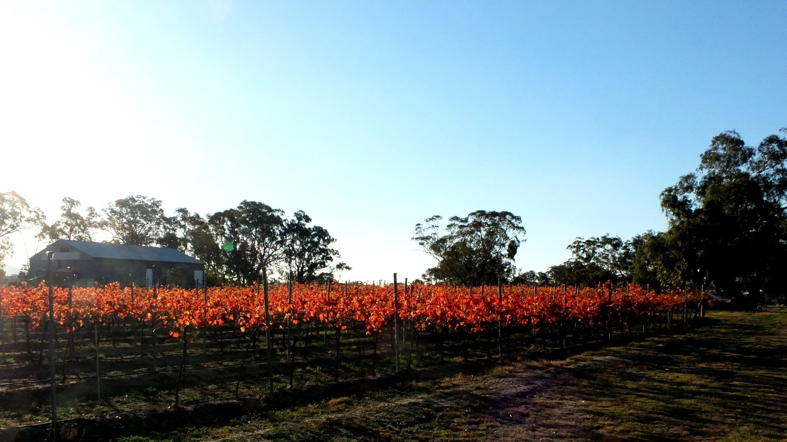 Autumn vines - firey tinges