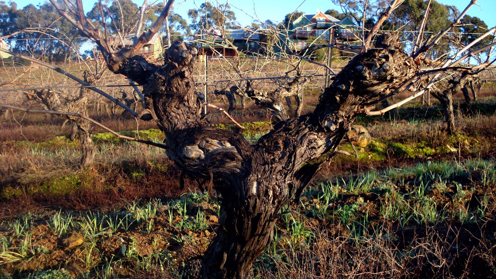 Photo of the gnarled 40 year old vine