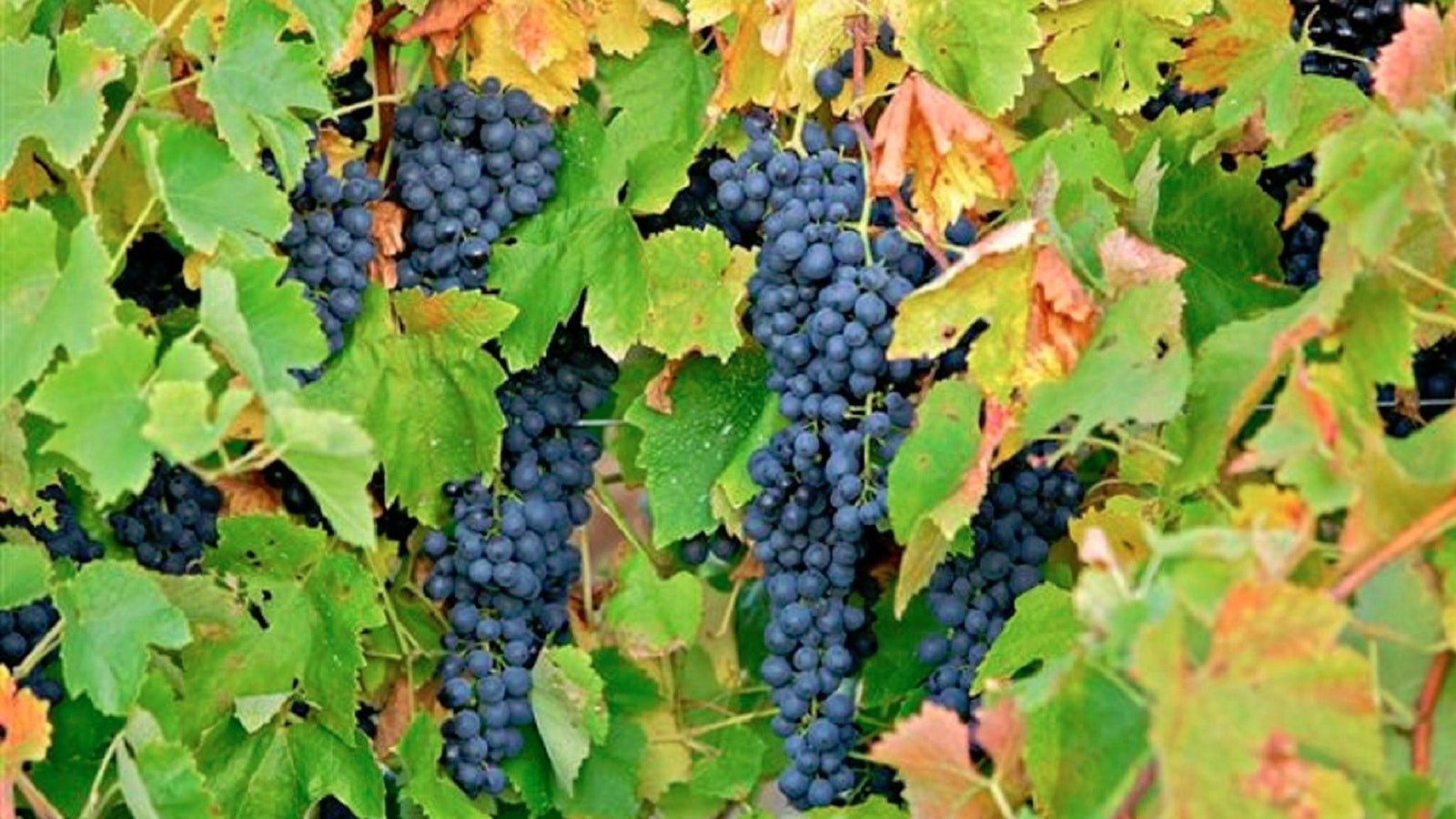 Grapes on the vine, waiting to be picked