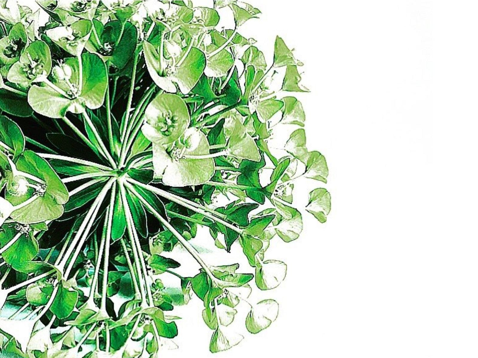Helen Kleores - Green Euphorbia