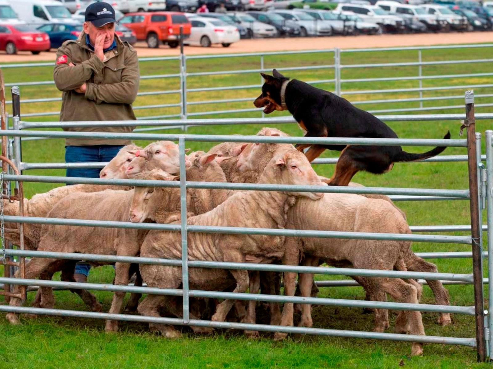 Australian Sheep and Wool Show