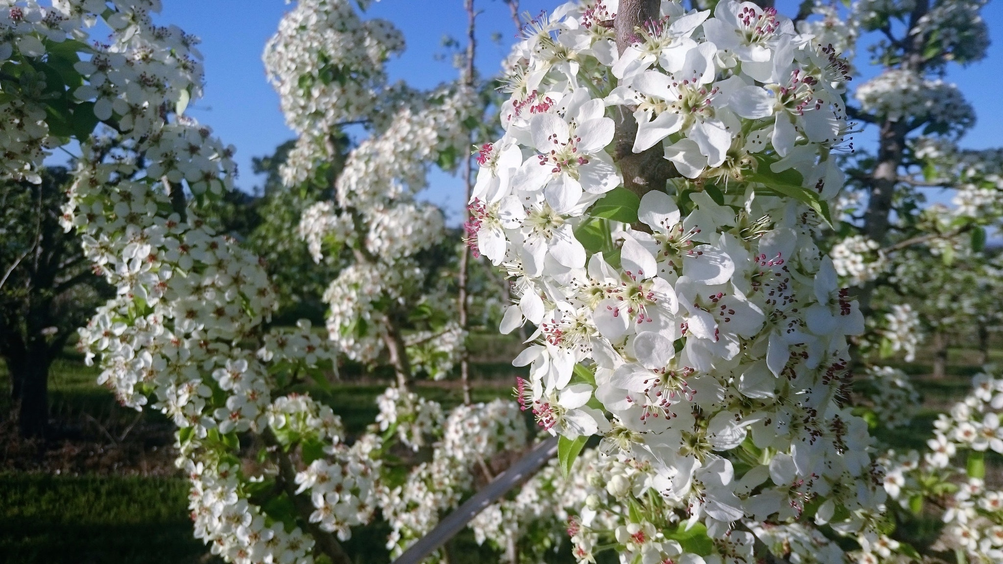 Perry Pear Trees in Bloom