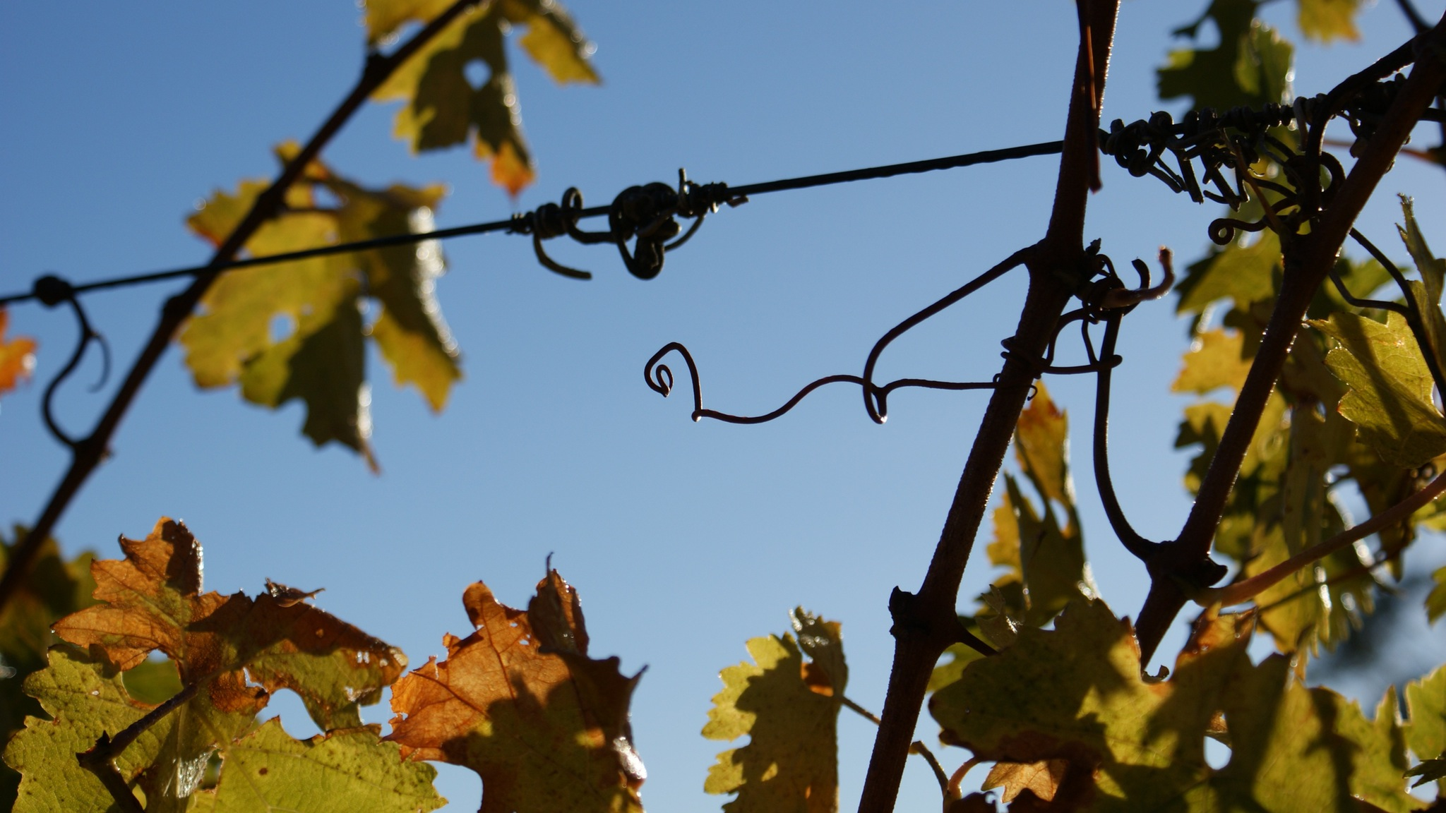 Blackjack Vineyard Tendrils