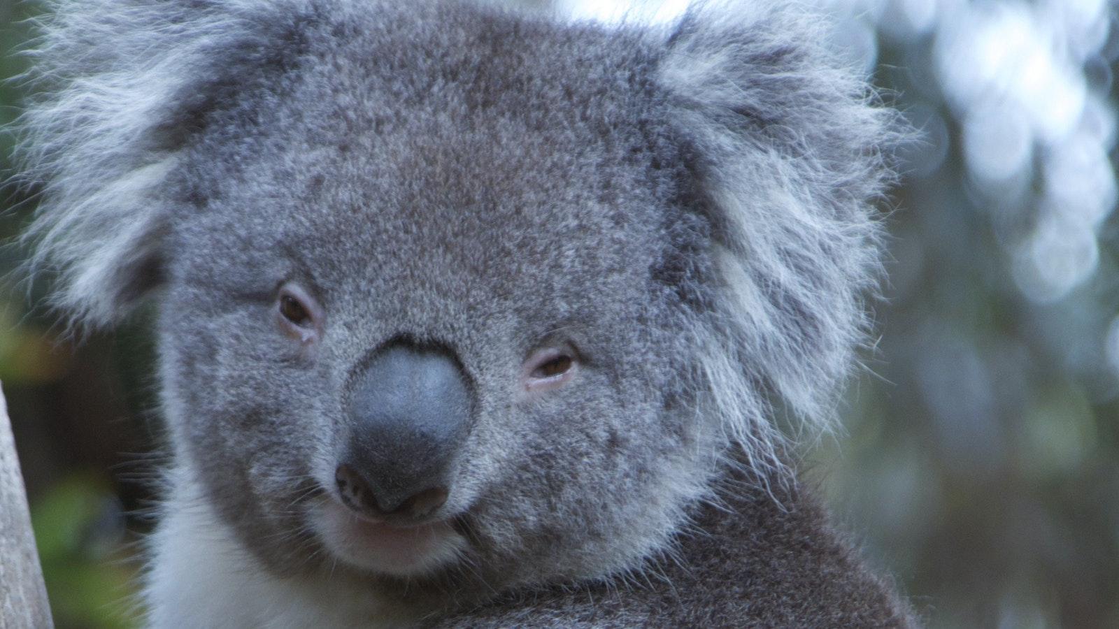 PJ the Koala