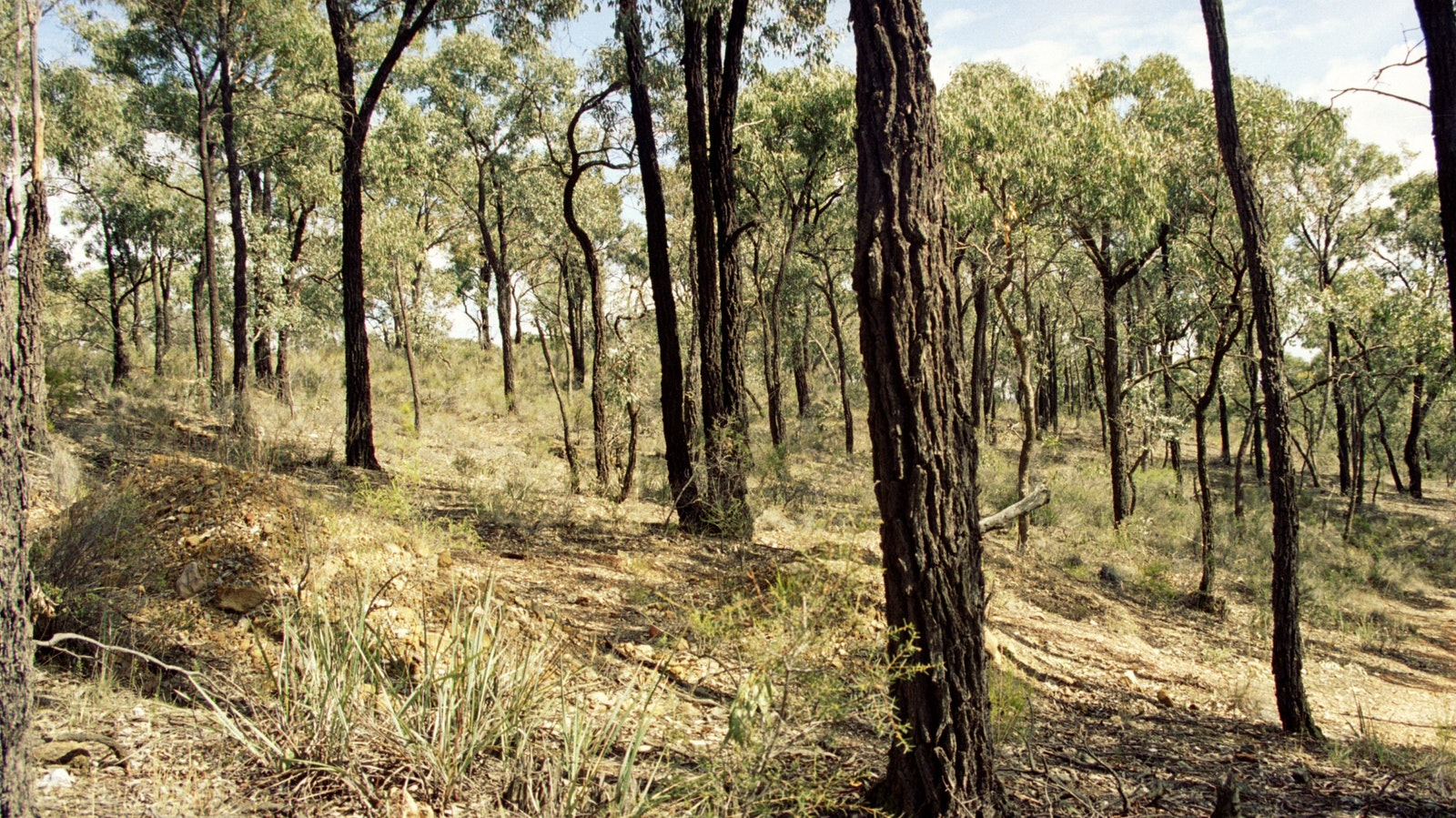 Box-Ironbark forest, BENDIGO - Goldfields