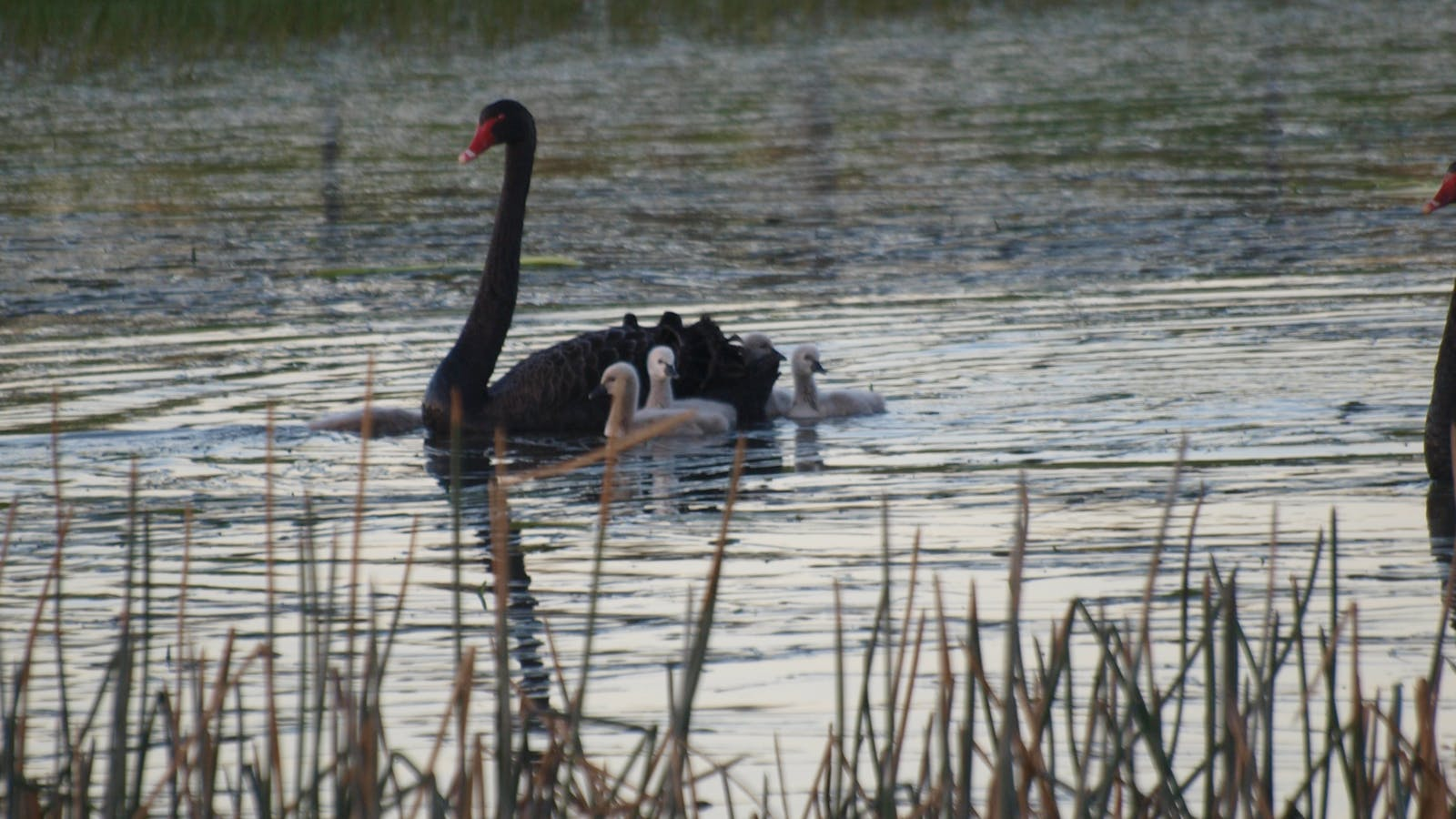 Swan with signets in farm dam
