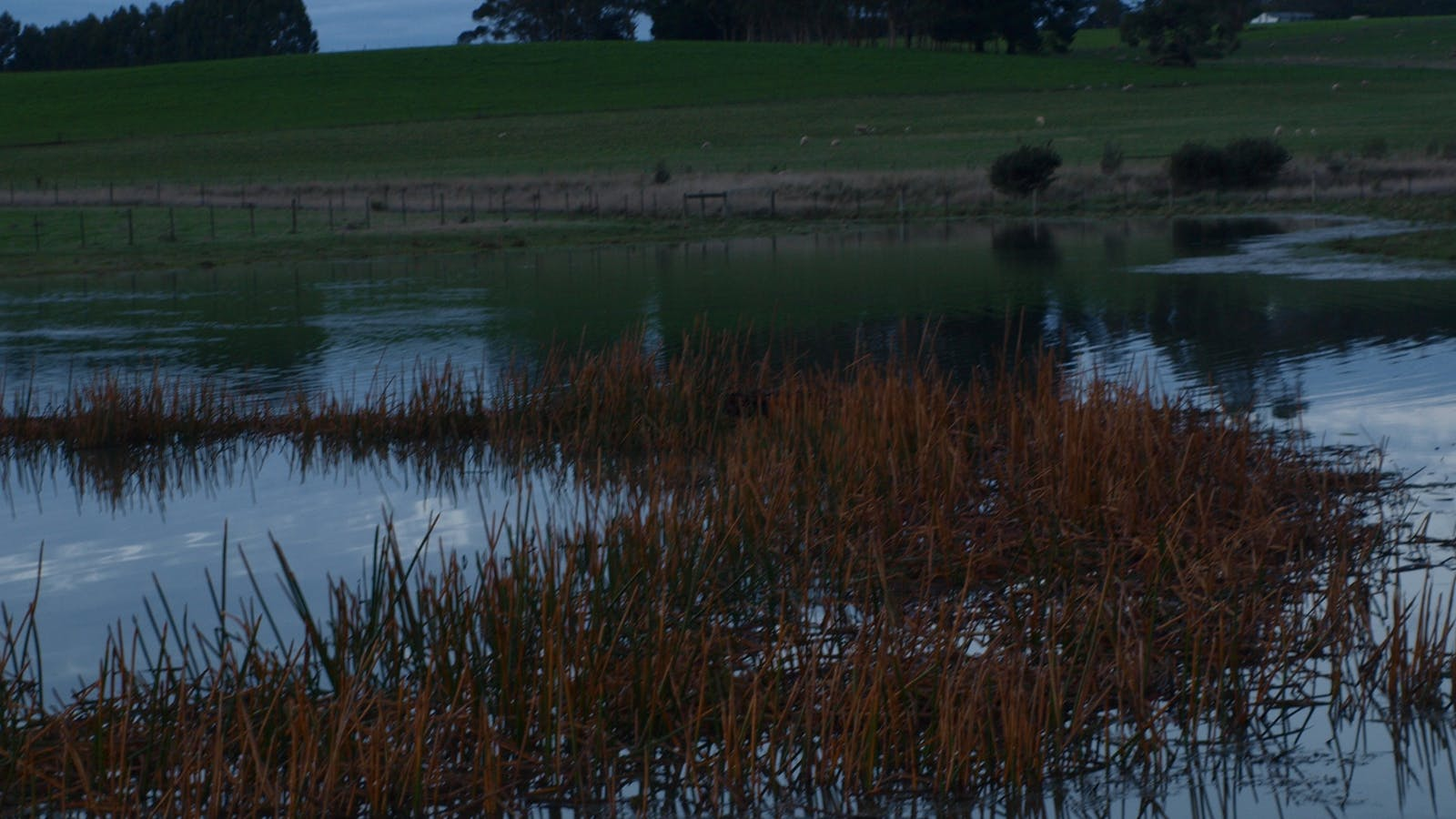 Reeds in old dam