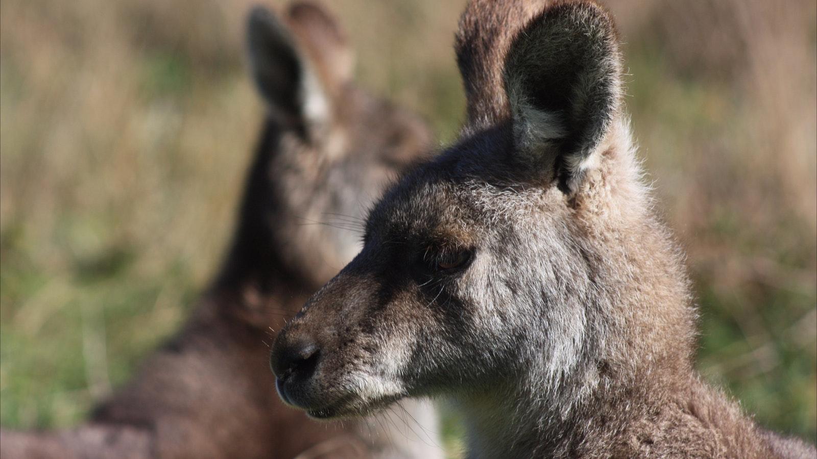 Kangaroos in abundance