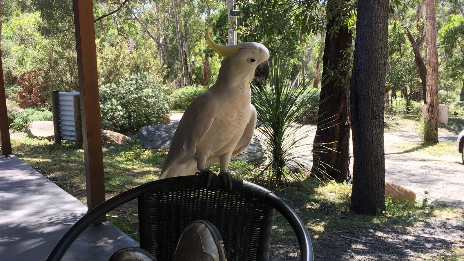 A friendly visiting Cockatoo