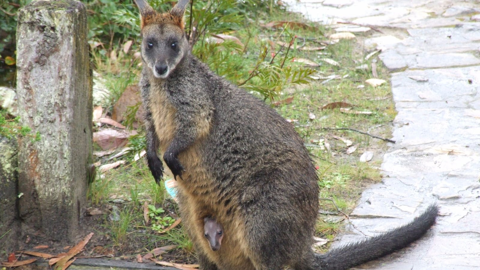 Swamp wallaby with a baby