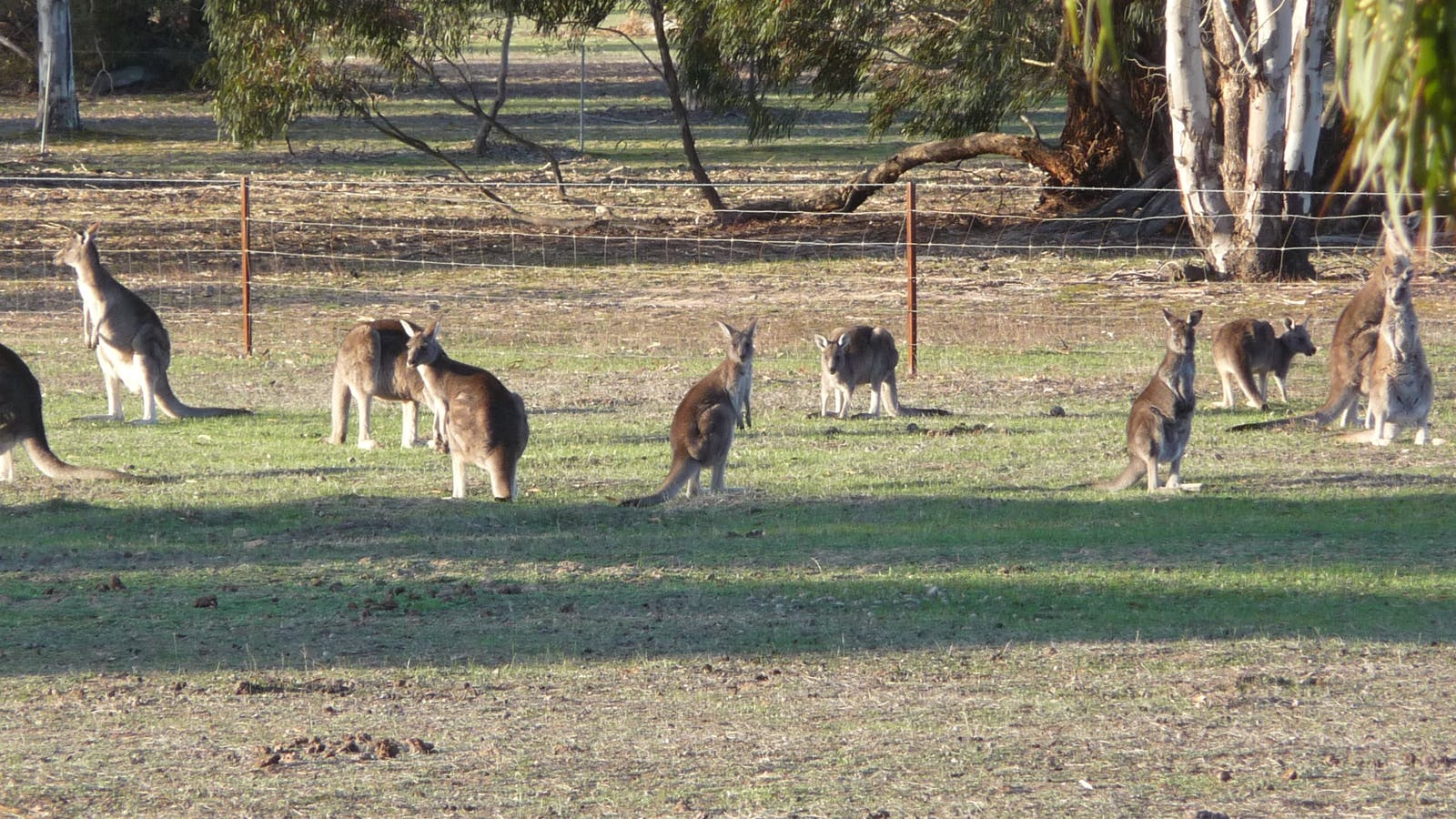 Our Kangaroo family at your front door